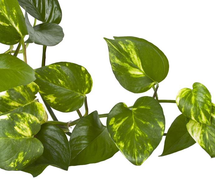 Devil's ivy or pothos (Epipremnum aureum) is a climber that grows in bright to low light away from draughts. Water when dry and dust leaves. Prune to control size. Poisonous to pets.