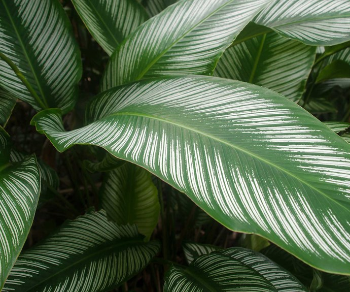 Pin-stripe calathea (Calathea ornata 'Sanderii') enjoys a brightly lit spot out of direct sunlight. Water when dry, dust leaves and mist daily to maintain humidity to avoid leaf spots.
