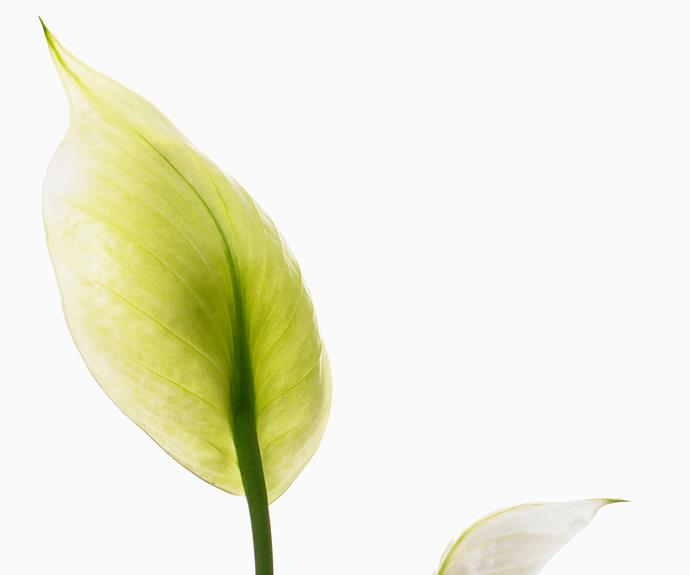 "Peace or Madonna lily (Spathiphyllum wallisii) is one of the best indoor flowering plants for a bright indoor spot. Water when dry and remove spent flower and leaf stems. This popular [indoor plant is poisonous to pets](https://www.homestolove.com.au/13-common-houseplants-that-are-poisonous-to-pets-5073|target=""_blank"")."