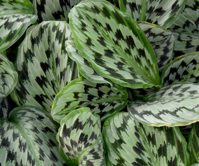 Prayer plant (Calathea spp.) needs a bright but not direct light.  Water regularly but don't allow pot to stand in water. Leaves may move through the day or close. Remove dead leaves to keep the plant tidy.
