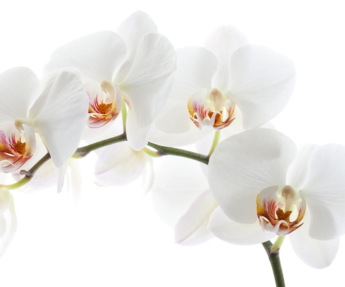 Moth orchid (Phalaenopsis spp.) has long-lasting, butterfly-shaped white or purple flowers. Provide bright light, shelter from cold draughts and grow in well-drained orchid mix. Mist once or twice a week. Let flower stems die back before pruning off dead growth.