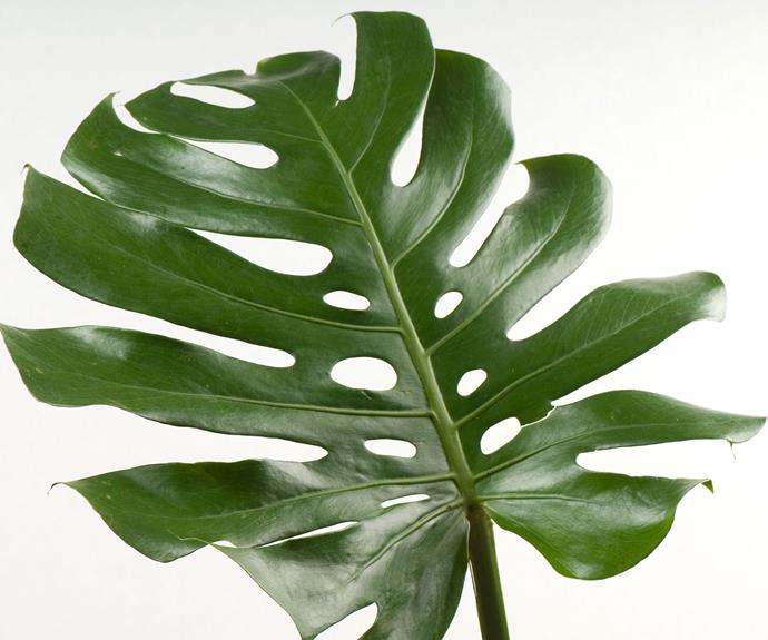 Philodendron (Philodendron bipinnatifidum) likes a well-lit spot indoors. Allow potting mix to dry out slightly between waterings. Keep leaves dust free, remove dead growth and repot when this vigorous grower out grows it container.