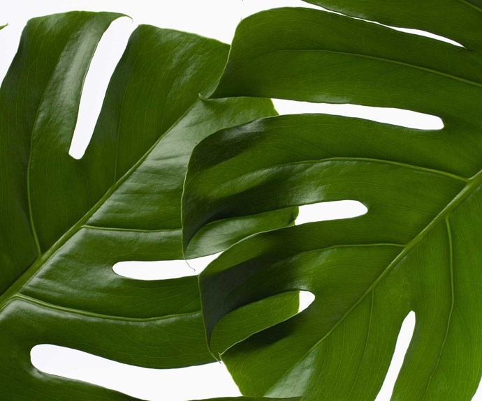 Swiss cheese plant (Monstera deliciosa) enjoys a well-lit spot away from of direct light. Allow potting mix to dry out slightly between waterings. Mist and dust leaves. Remove spent leaves and repot occasionally. Support climbing branches. Height: 3m