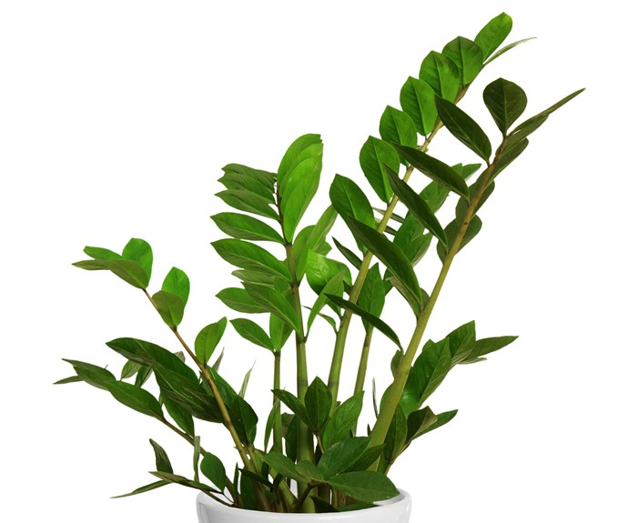 """Zanzibar Gem (Zamioculcas zamiifolia) is a striking foliage plant that's almost indestructible. It needs a well-lit spot but survives long periods without water as it grows from a rhizome. Only water when dry. Related: [The best ways to display indoor plants](http://www.homestolove.com.au/indoor-plant-display-ideas-408