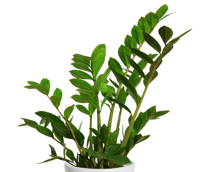 "Zanzibar Gem (Zamioculcas zamiifolia) is a striking foliage plant that's almost indestructible. It needs a well-lit spot but survives long periods without water as it grows from a rhizome. Only water when dry. Related: [The best ways to display indoor plants](http://www.homestolove.com.au/indoor-plant-display-ideas-408|target=""_blank"")."