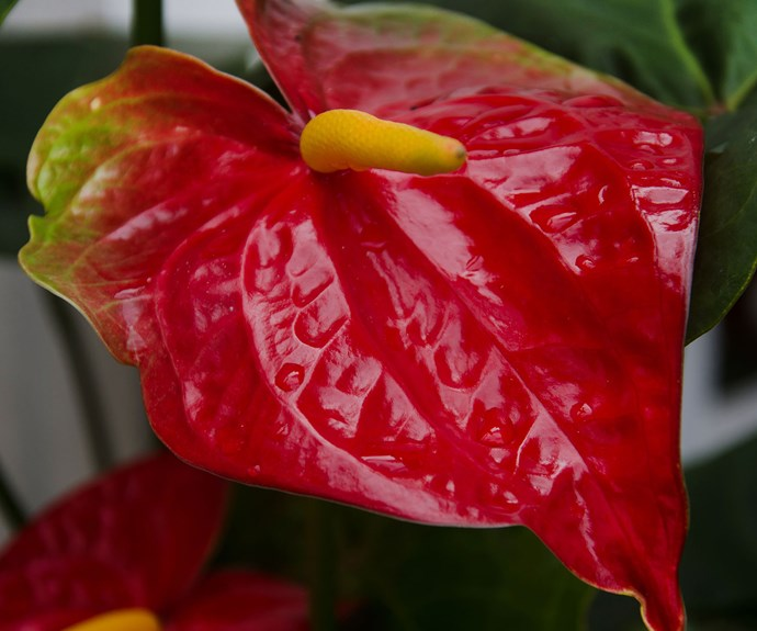 Anthurium (Anthurium andreanum) has green heart-shaped leaves to match its bold red, pink or white flowers. Grow in bright light. Keep potting mix moist but not wet. Prune off spent leaves and flowers.