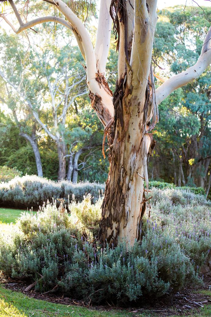 A white box gum tree (Eucalyptus albens) stands within a hedge of French lavender (Lavandula dentata).