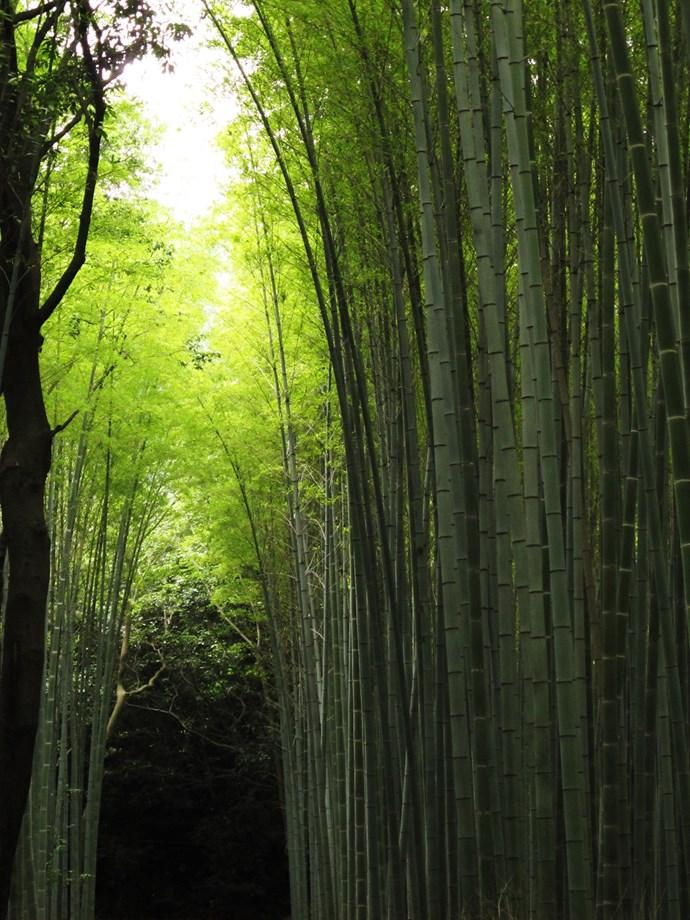 Green cathedral at the glorious Arashiyama Bamboo Grove.