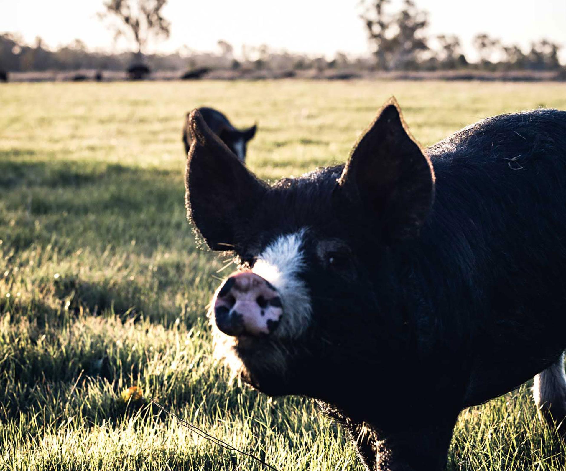 A free range pig farm in the Riverina, Bundarra Berkshires