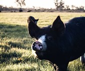 Bundarra Berkshires: Life on a free range pig farm in the Riverina