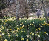 A daffodil garden in full bloom at Rydal in the Blue Mountains