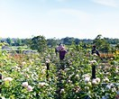 A peek inside B&B Rose Farm on Sydney's outskirts