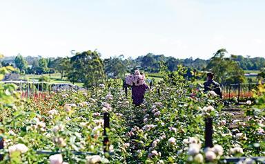 A peek inside B&B Rose Farm on Sydney's outskirts