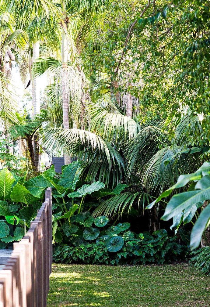 **Back garden** Existing palms are underplanted with *Philodendron* 'Xanadu' and tractor seat plant (*Ligularia dentata reniformis*).