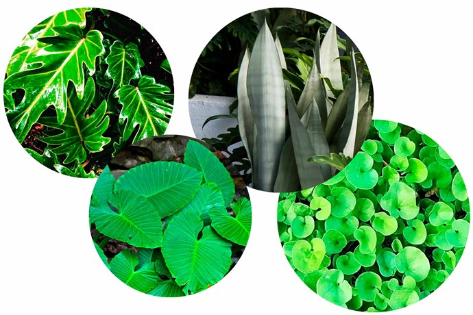 **Going green** Foliage can be just as attractive as bursts of floral colour. **Plant picks** (from left) *Philodendron* 'Xanadu'. *Alocasia macrorrhiza* Elephant's ear. *Sansevieria trifasciata* 'Moonshine' snake plant. *Dichondra repens* Kidney weed.