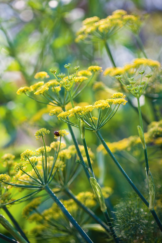 "Fennel heads are just one of many [perennial plantings](https://www.homestolove.com.au/perennial-plants-2079|target=""_blank"") in the garden."
