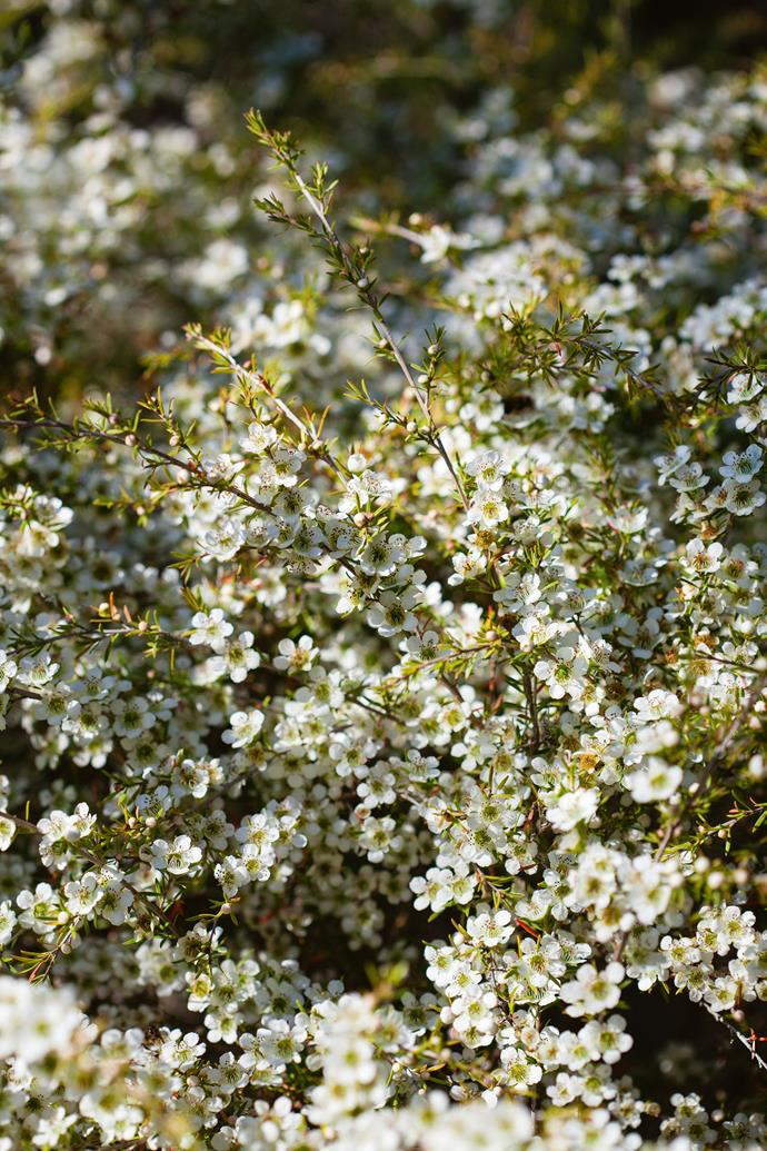 Clusters of Indian hawthorn.