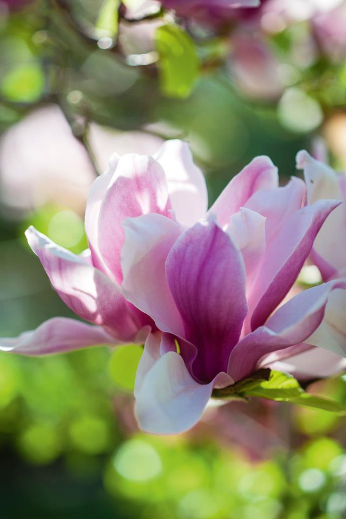 Magnolias thrive at Cobbitty.
