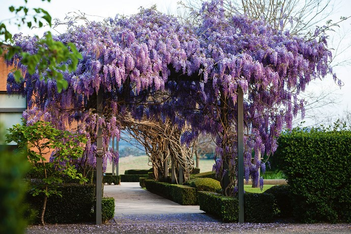 Magnificent wisteria, draped over a strong supporting arcade, makes a dazzling late-spring display.