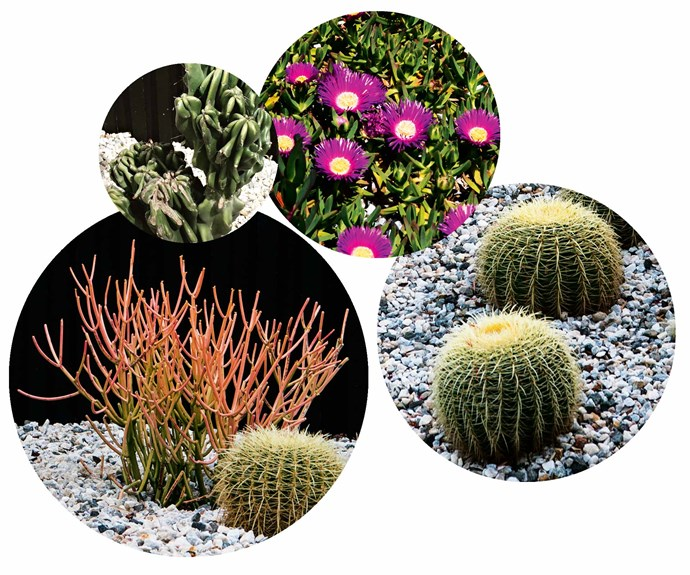 "**Garden bliss** If you're looking to get your hands dirty, look no further than these sculptural and low-maintenance beauties. **Top picks** (clockwise from left) Peruvian apple cactus (*Cereus peruvianus monstrose*). Pigface (*Carpobrotus*). Golden barrel cactus (*Echinocactus grusonii*). Firestick plant (*Euphorbia tirucalli*).<br><br>*Find out more about James' work at [Pangkarra](http://pangkarra.com.au/|target=""_blank""