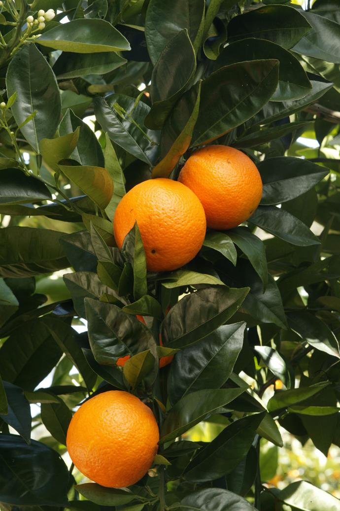 Productive fruit trees are usually winners with buyers. *Photo: Brent Wilson / bauersyndication.com.au*