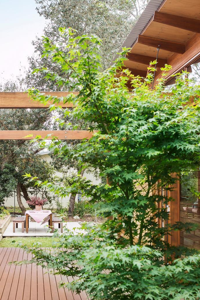 A Japanese maple tree. *Photo: Maree Homer / bauersyndication.com.au*