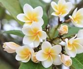 Plant guide: Frangipanis