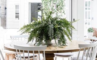 Large Boston fern on a round timber dining table