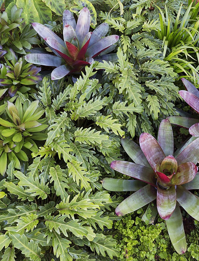 """A bird's eye view of the garden bed, left, shows the striking, regal form of the Imperial bromeliad (Alcantarea imperialis 'Rubra') plants, amid a sea of green foliage. """"The bromeliad is the feature plant and the others work in harmony around it,"""" says Lyndall. Surrounding plants include Cordyline glauca, Philodendron 'Xanadu', Carissa 'Desert Star' and walking iris. """"To delineate them all, every plant has a different leaf shape,"""" says Lyndall."""