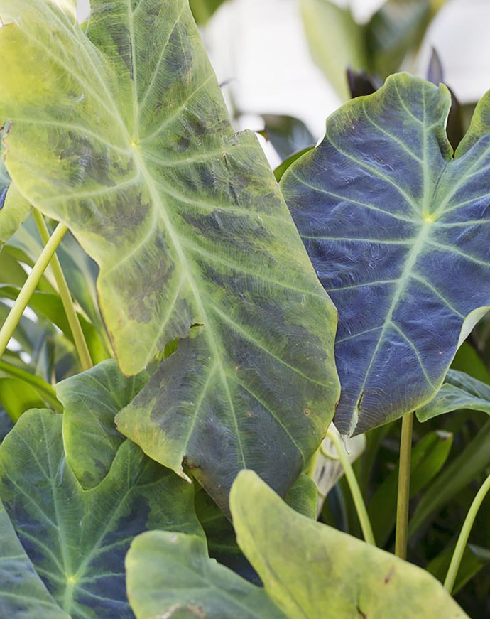 The substantial leaves of an elephant's ear (Colocasia esculenta).