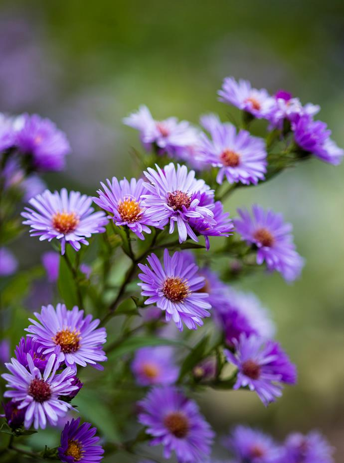 Aster 'Blue Gown'.