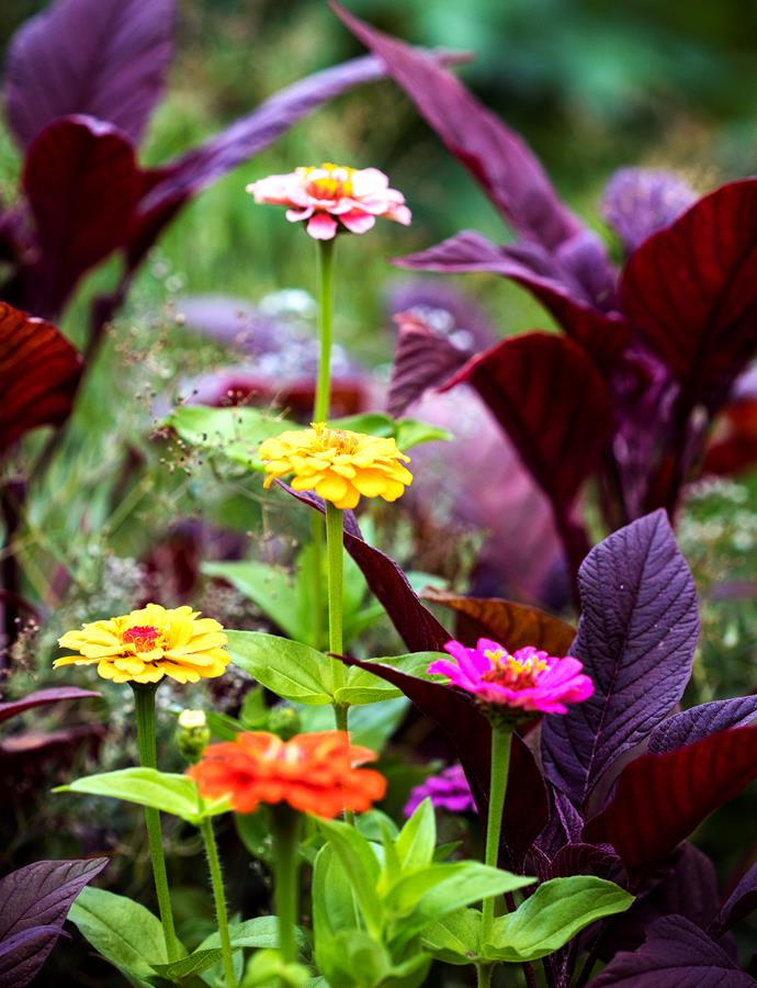 Zinnias and Amaranthus in the cut flower garden.
