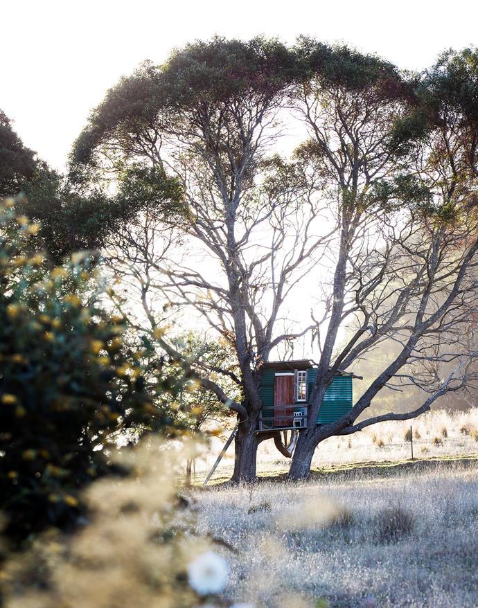 A cubby in a local blackwood tree (Acacia melanoxylon).