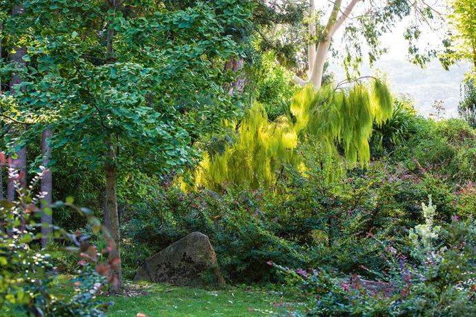 The early garden, secluded and shaded by spectacular mature trees swept around the homestead and followed the meandering line of the creek. The beautiful weeping form of the Acacia cognata 'Limelight' catches the light in the garden along the creek. A Ginkgo biloba stands to the left, while pink Loropetalum chinense flowers in the foreground.