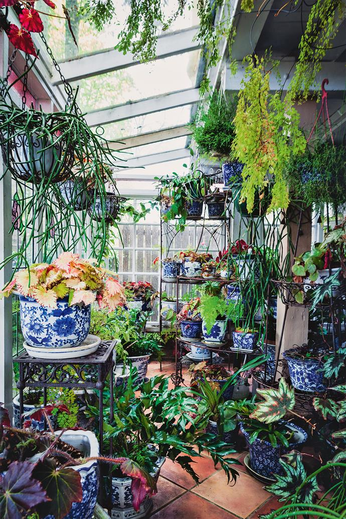 "The garden room is crammed with pots. There are ferns, begonias with their [bold patterned leaves](https://www.homestolove.com.au/colourful-indoor-plants-6215|target=""_blank"") and succulents; many in beautiful blue-and-white glazed pots, others on wire stands or hanging. All are lush, well-tended and benefiting being sheltered from the often changeable Blue Mountains weather."