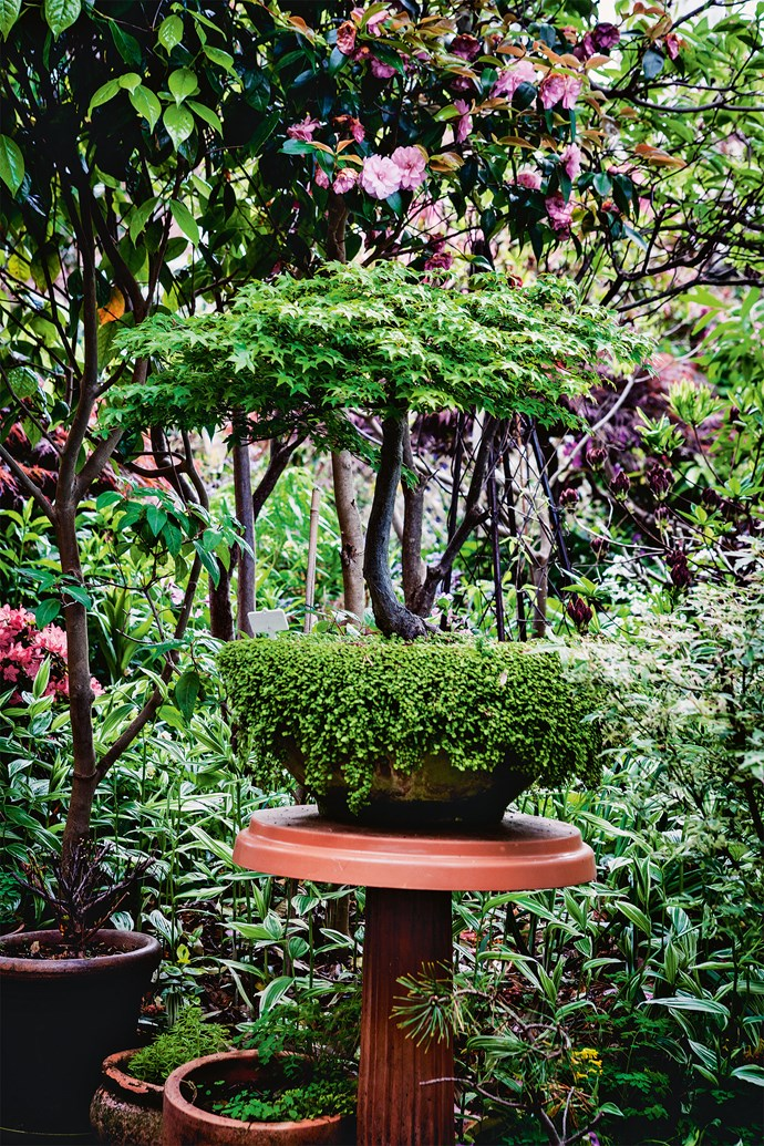 Using every bit of space, even pots are multi-planted - a bonsai maple makes a fine display atop a pedestal.