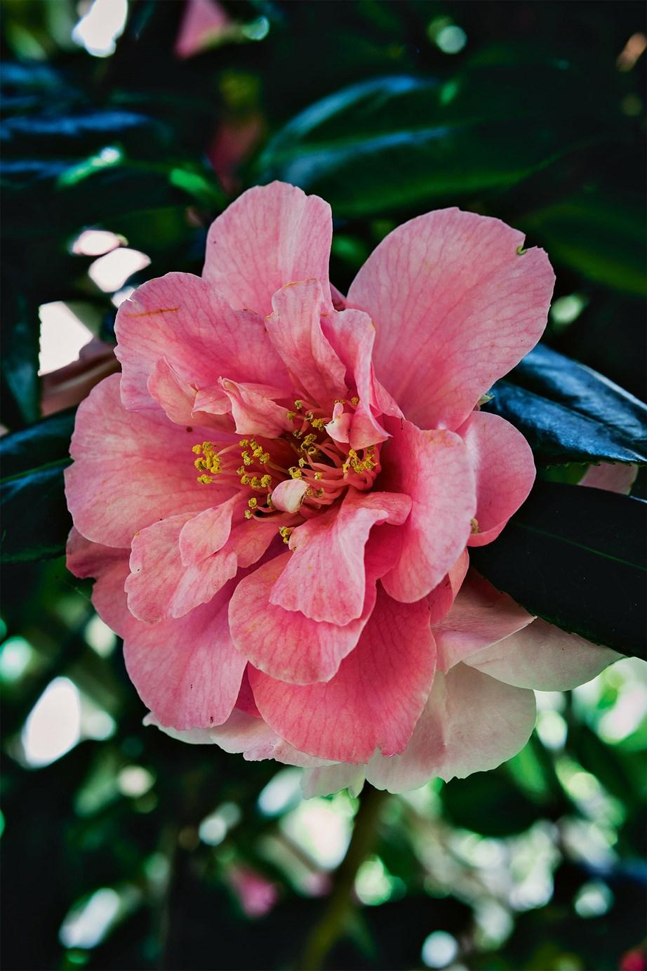 The pink japonica camellia 'Appleblossom'.