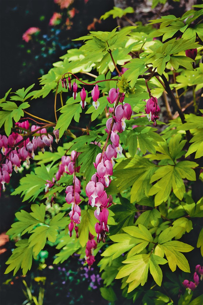 The dainty pink flowers of the perennial 'Bleeding Heart' (Dicentra spectabilis 'Aurea').