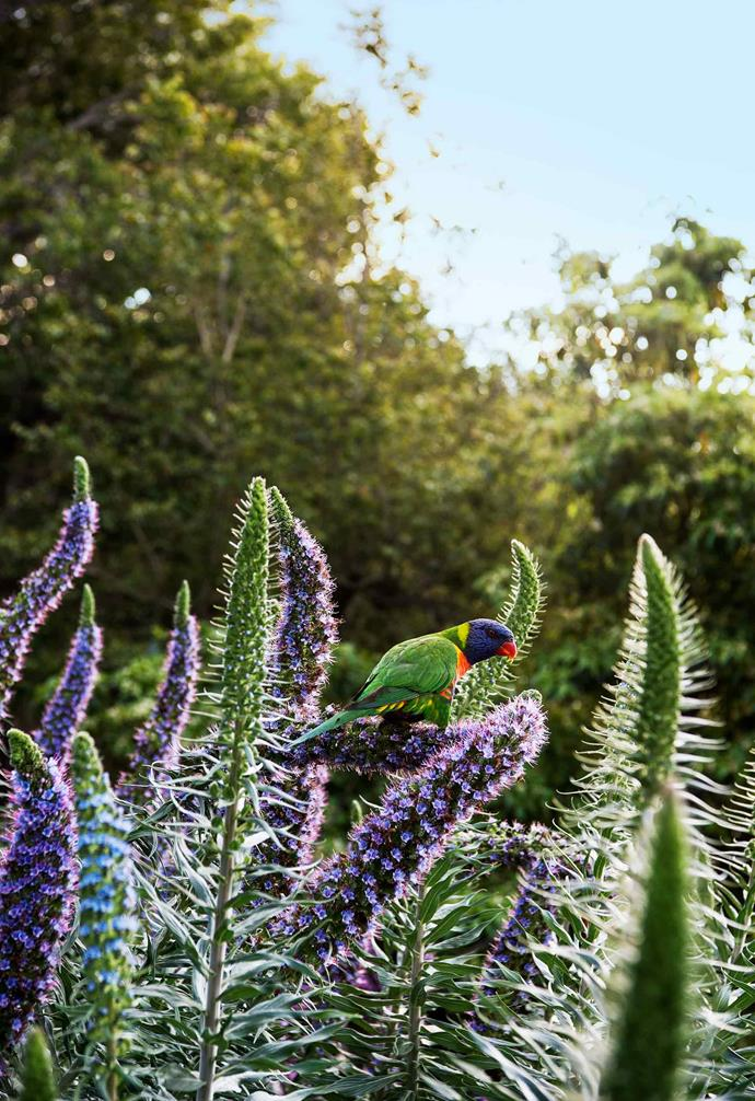 **Side garden** Local birdlife enjoys the pride of Madeira (*Echium fastuosum*).