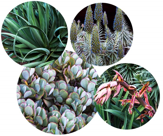 **Plant palette** Bold sculptural shapes and colour combine to create layers of texture in the garden. **Top picks** (clockwise from left) *Dracaena draco* Dragon tree. *Echium fastuosum* Pride of Madeira. *Beschorneria yuccoides* Mexican lily. *Crassula ovata* 'Blue Bird' silver dollar jade.