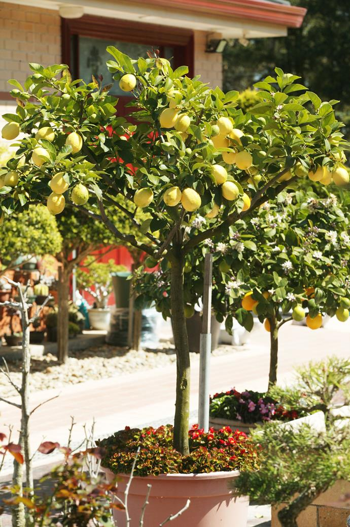 Citrus trees will grow almost anywhere in Australia. *Photo: Brent Wilson / bauersyndication.com.au*
