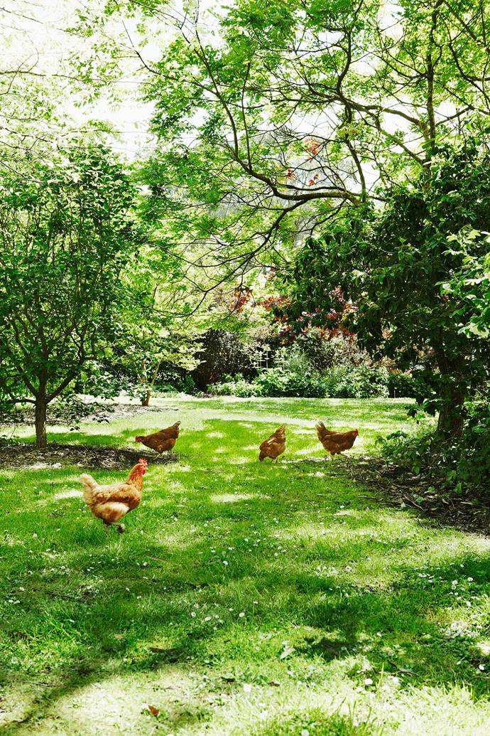 Hens will not only yield a bounty of fresh eggs, but will also keep unwanted insects at bay. *Photo: Annette O'Brien / bauersyndication.com.au*
