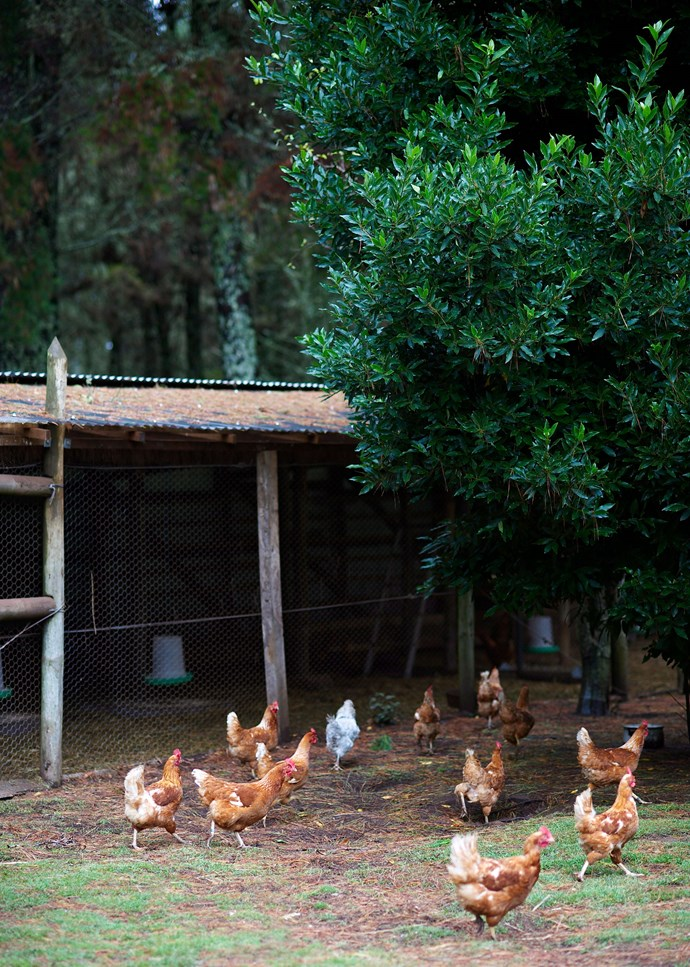 A flock of free-ranging ISA Brown hens on a rural property. *Photo: Nick Watt / bauersyndication.com.au*
