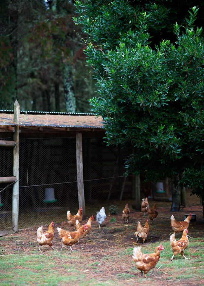 A flock of free-ranging ISA Brown hens on a rural property. *Photo: Nick Watt / bauersyndication.com.au*