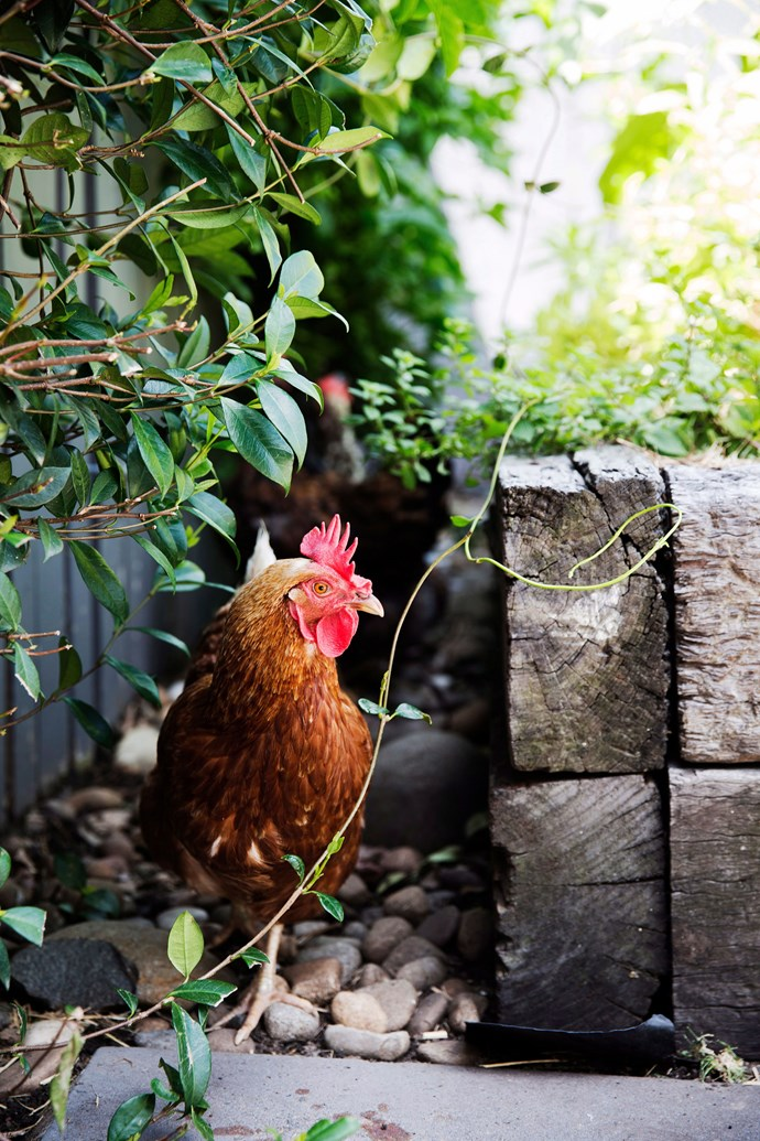 Hens like ISA Browns and Australorps are well-known for their egg-laying prow*Photo: Chris Warnes / bauersyndication.com.au*