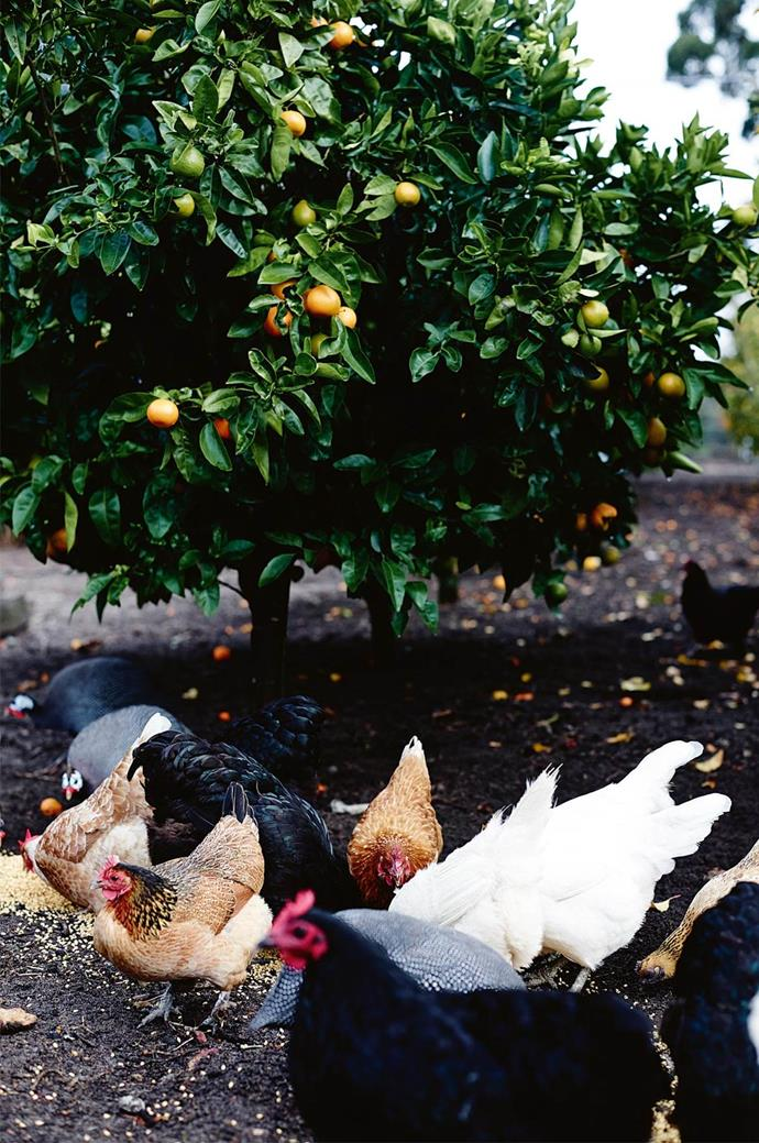 "Chickens play a vital role at this [organic family-run farm in Margaret River](https://www.homestolove.com.au/organic-farm-margaret-river-western-australia-13994|target=""_blank""). *Photo: Mark Roper*"