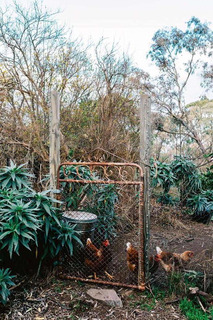 "A flock of chickens at the [garden gate](https://www.homestolove.com.au/beautiful-garden-gates-13737|target=""_blank"")."