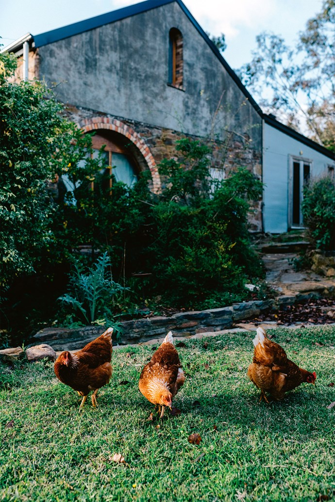 A trio of ISA Brown hens scratch at the lawn.