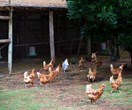 A guide to backyard chickens: Raising them, council rules and more