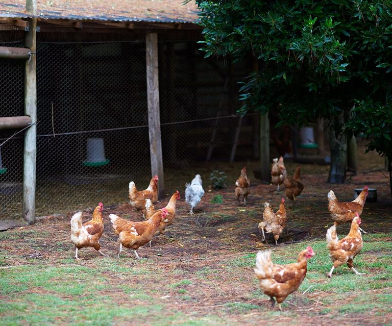 Backyard chickens: A guide to raising them, council rules